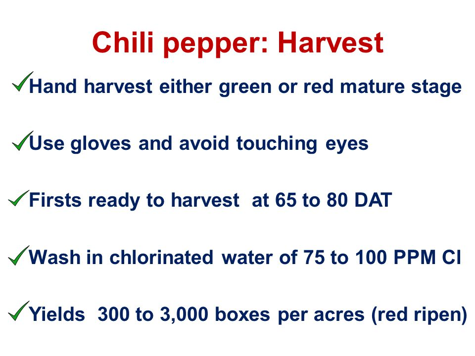Chili pepper: Harvest