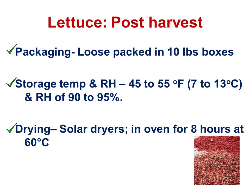 Lettuce: Post harvest