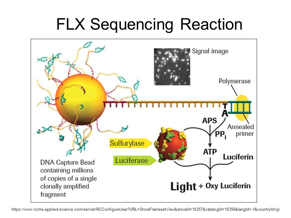 FLX Sequencing Reaction