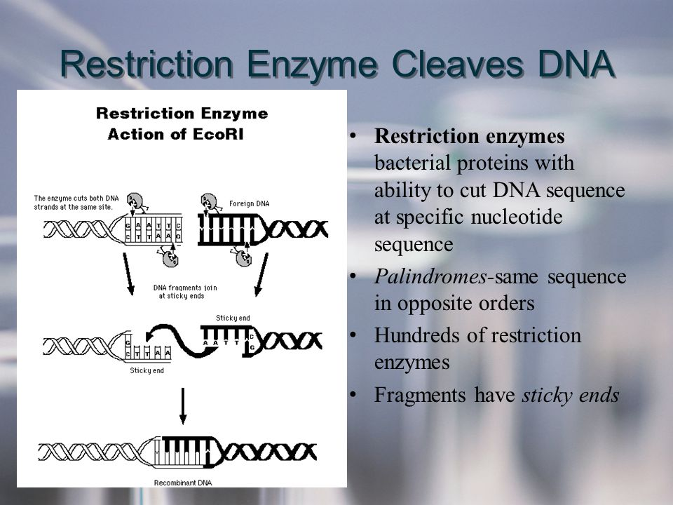 Restriction Enzyme Cleaves DNA