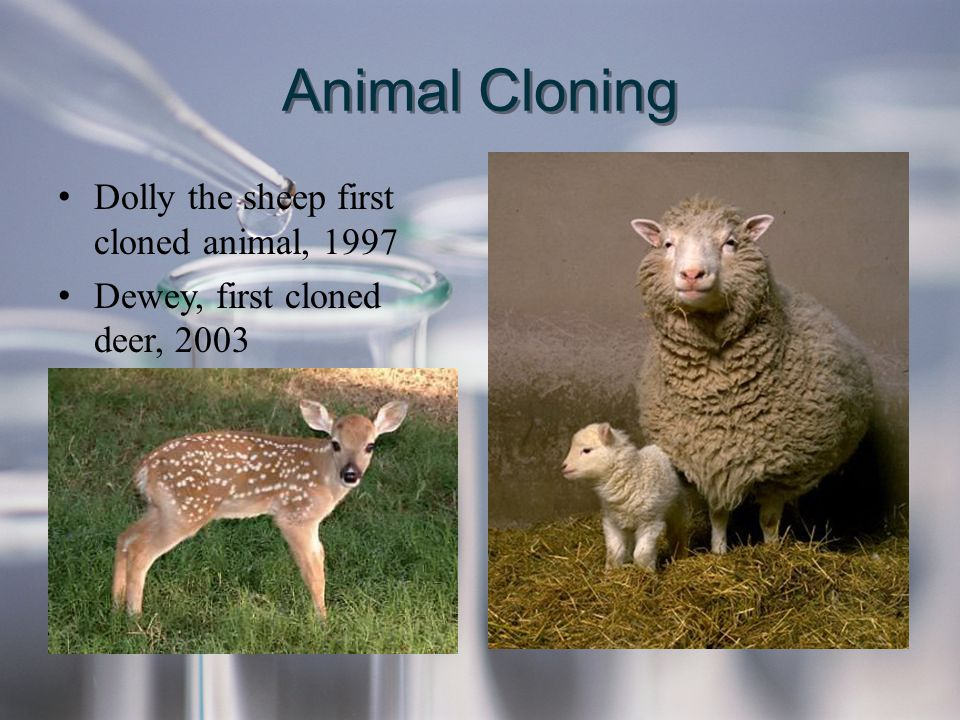 Animal Cloning Dolly the sheep first cloned animal, 1997