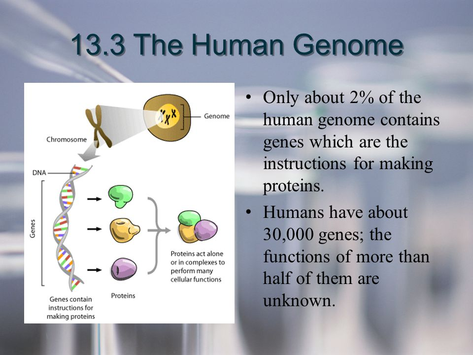 13.3 The Human Genome Only about 2% of the human genome contains genes which are the instructions for making proteins.