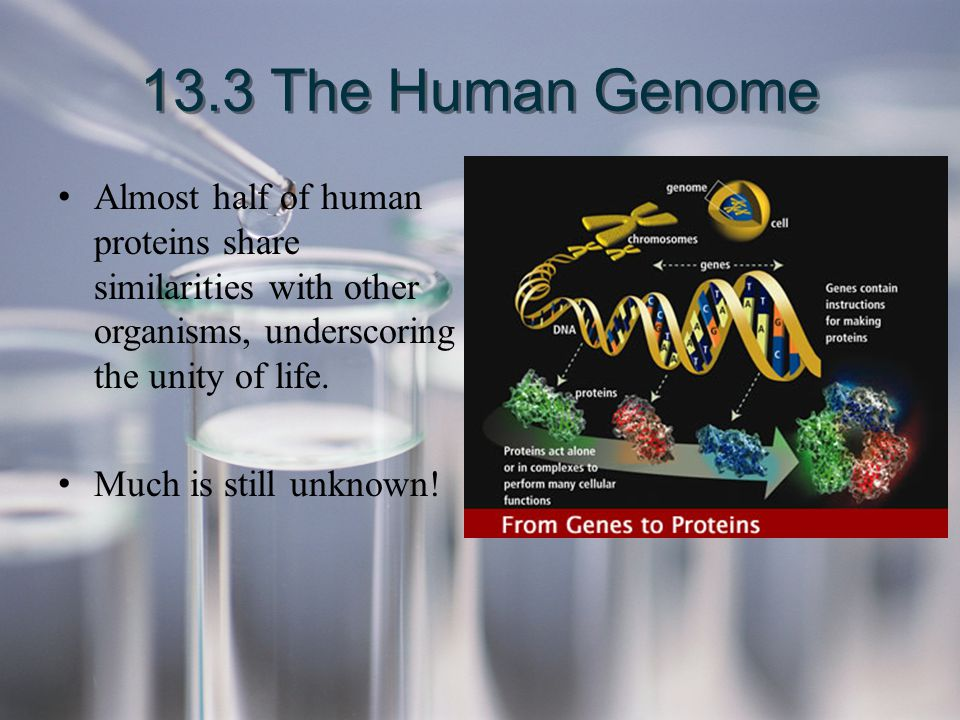 13.3 The Human Genome Almost half of human proteins share similarities with other organisms, underscoring the unity of life.