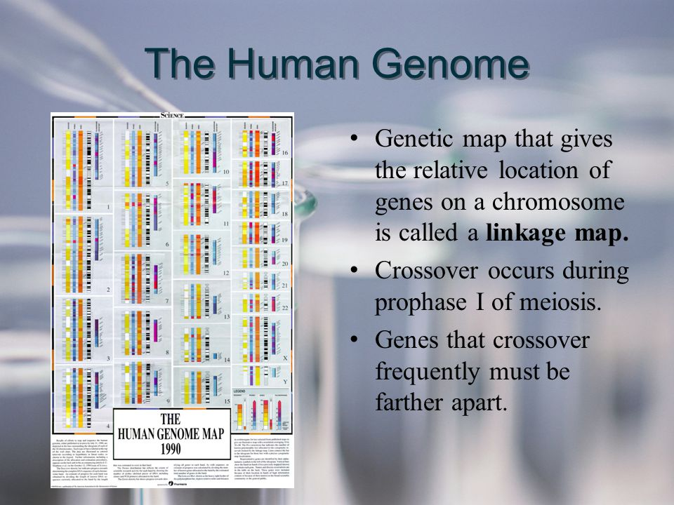 The Human Genome Genetic map that gives the relative location of genes on a chromosome is called a linkage map.