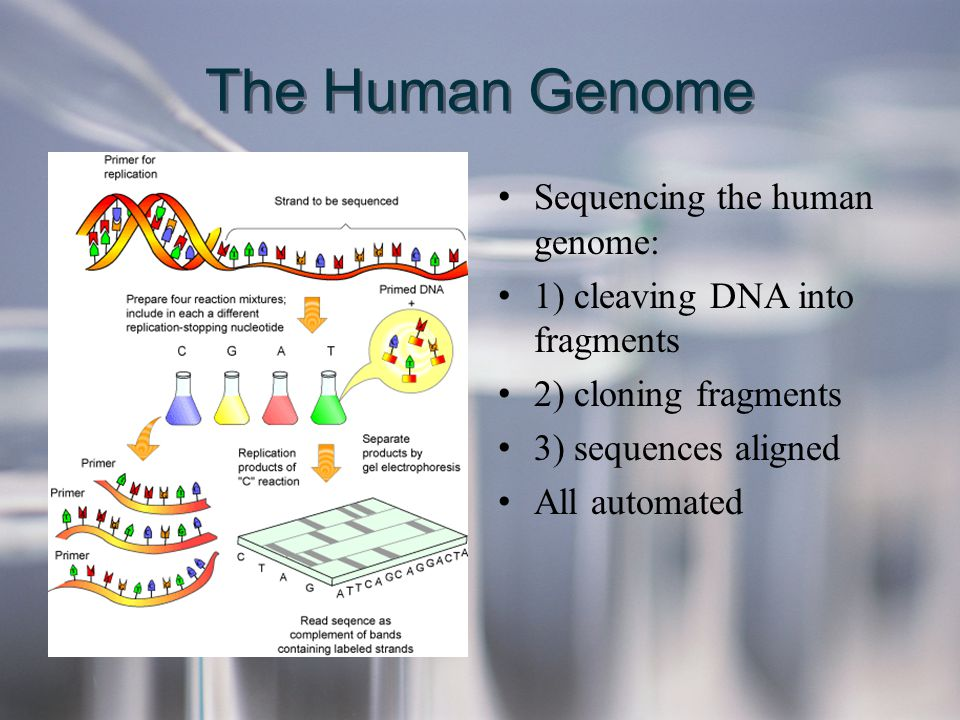 The Human Genome Sequencing the human genome: