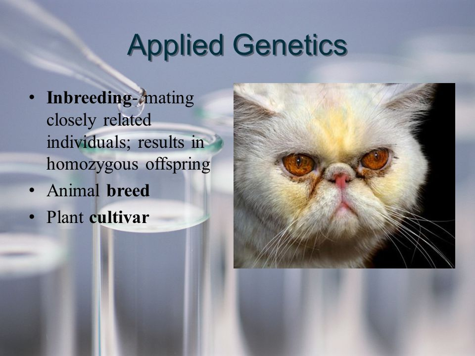 Applied Genetics Inbreeding- mating closely related individuals; results in homozygous offspring. Animal breed.