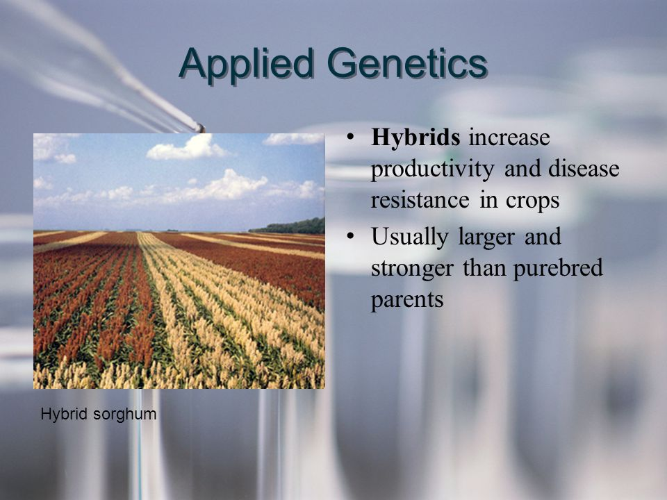 Applied Genetics Hybrids increase productivity and disease resistance in crops. Usually larger and stronger than purebred parents.