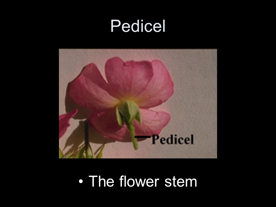 Pedicel The flower stem