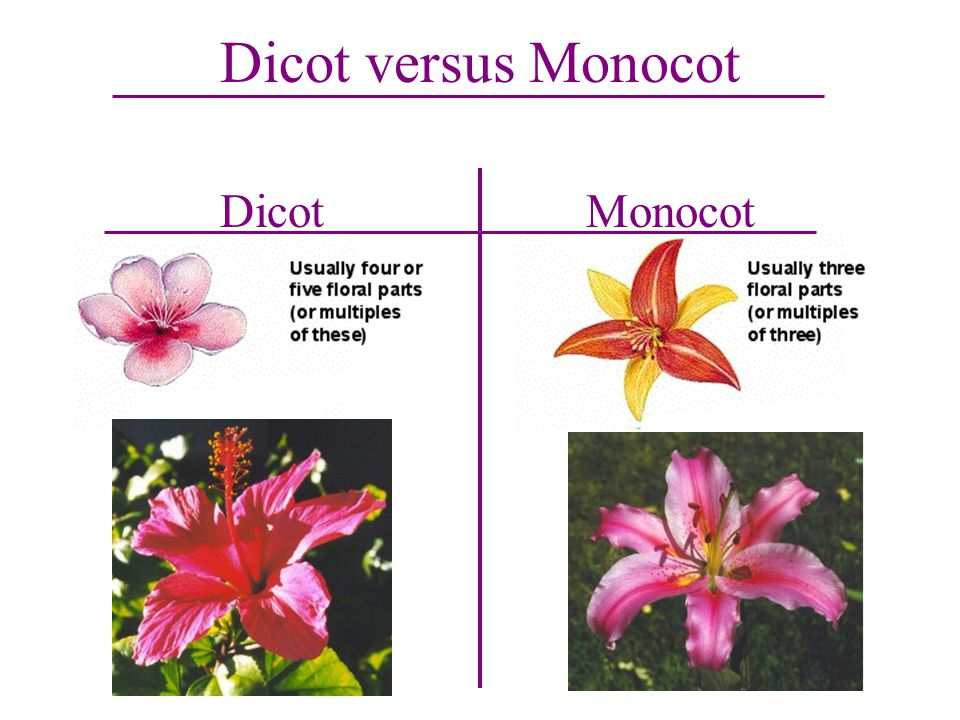 Dicot versus Monocot Dicot Monocot