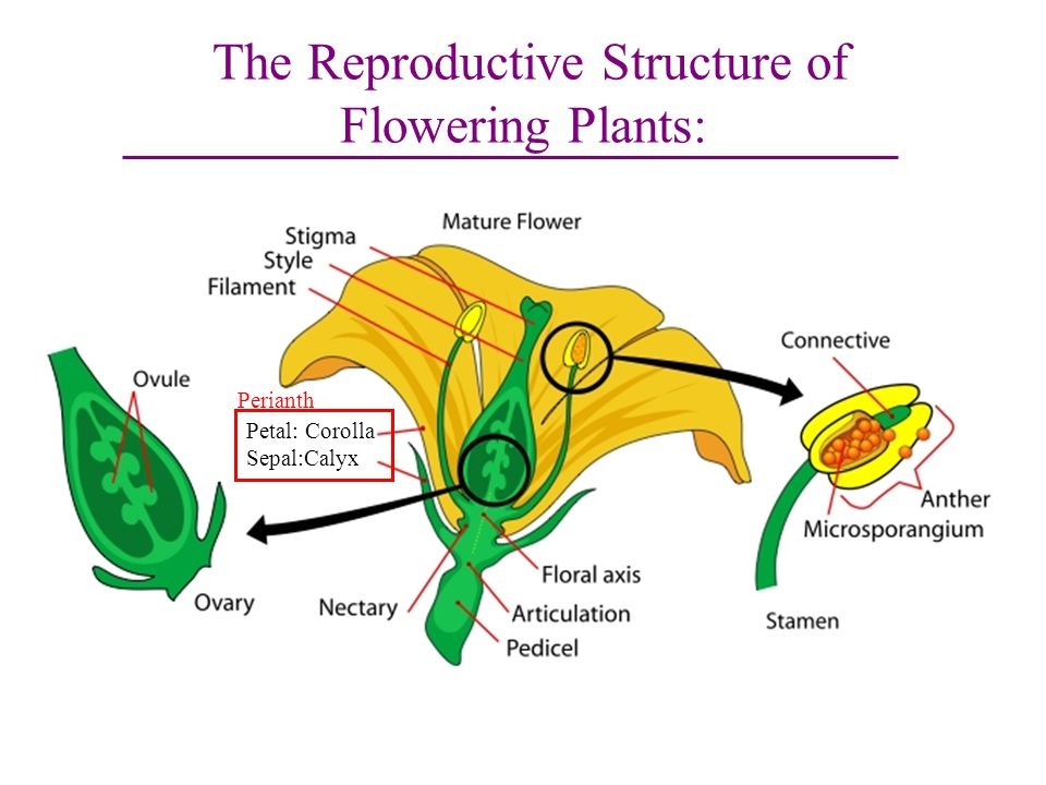 The Reproductive Structure of Flowering Plants: