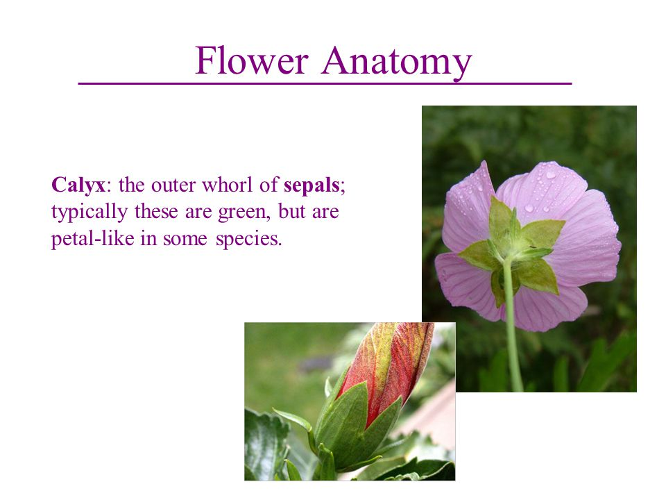 Flower Anatomy Calyx: the outer whorl of sepals; typically these are green, but are petal-like in some species.