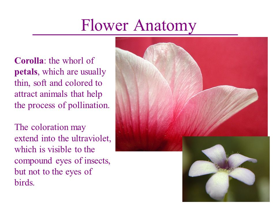 Flower Anatomy Corolla: the whorl of petals, which are usually thin, soft and colored to attract animals that help the process of pollination.