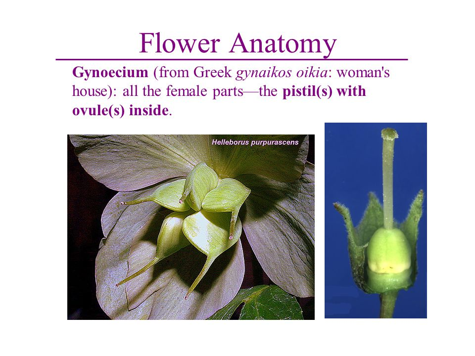 Flower Anatomy Gynoecium (from Greek gynaikos oikia: woman s house): all the female parts—the pistil(s) with ovule(s) inside.