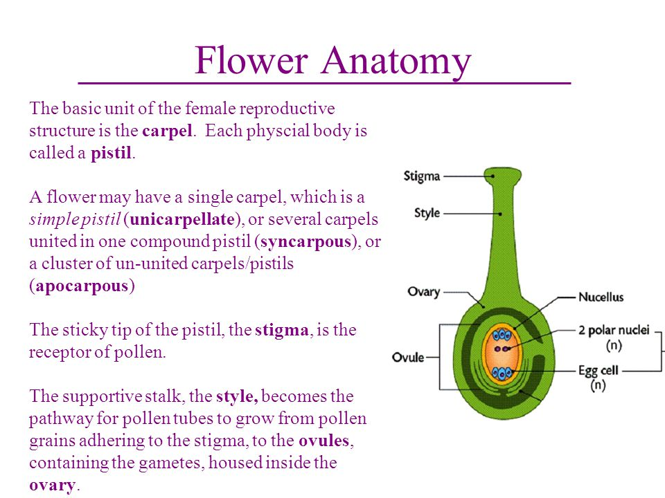 Flower Anatomy The basic unit of the female reproductive structure is the carpel. Each physcial body is called a pistil.