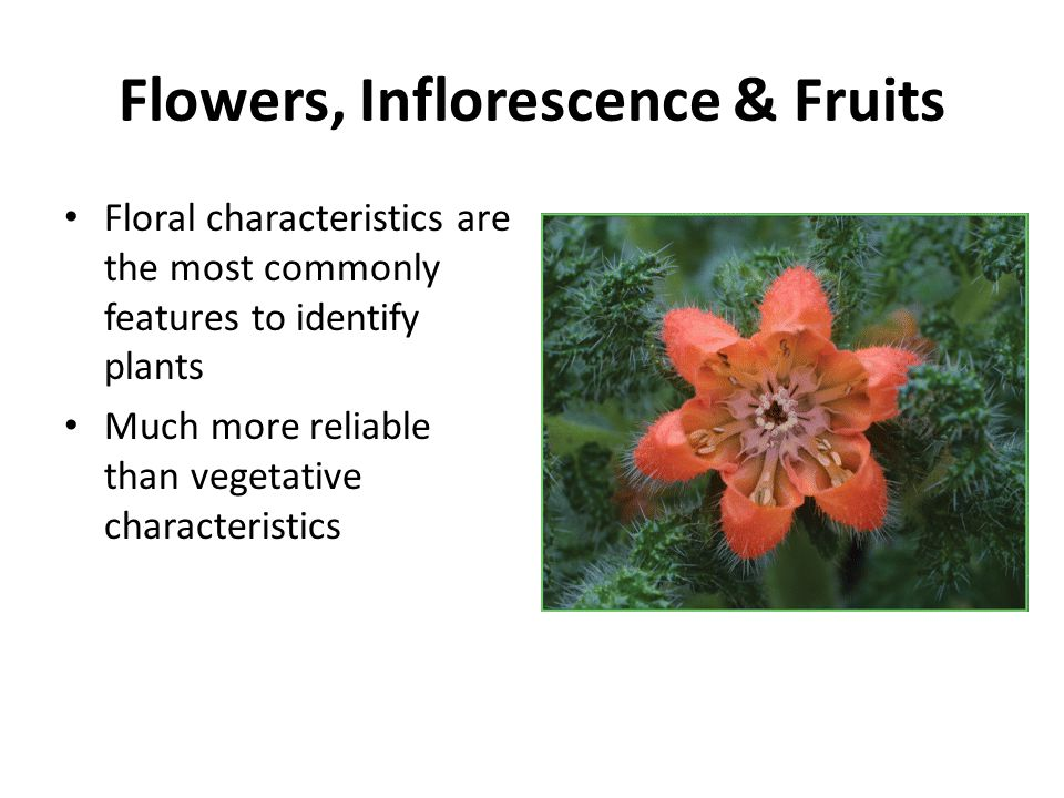 Flowers, Inflorescence & Fruits