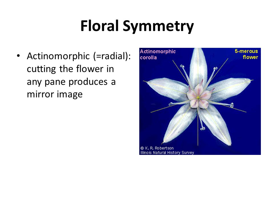 Floral Symmetry Actinomorphic (=radial): cutting the flower in any pane produces a mirror image