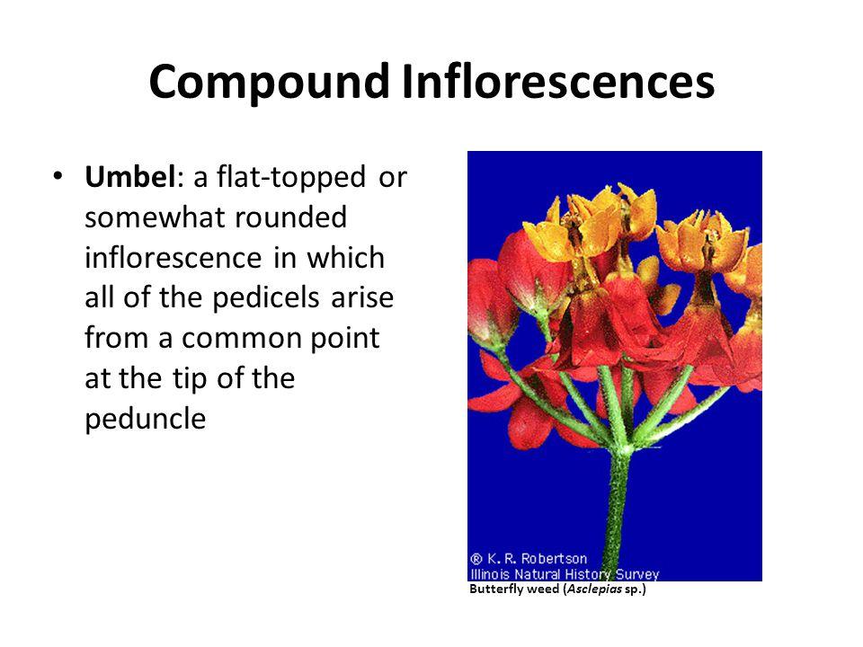 Compound Inflorescences