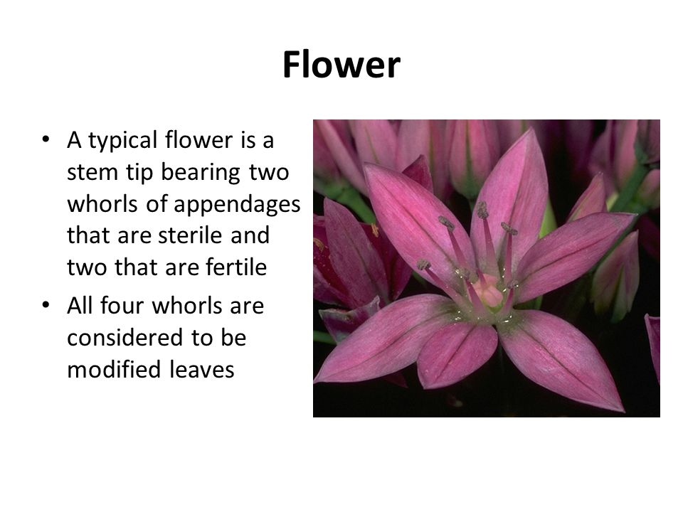 Flower A typical flower is a stem tip bearing two whorls of appendages that are sterile and two that are fertile.