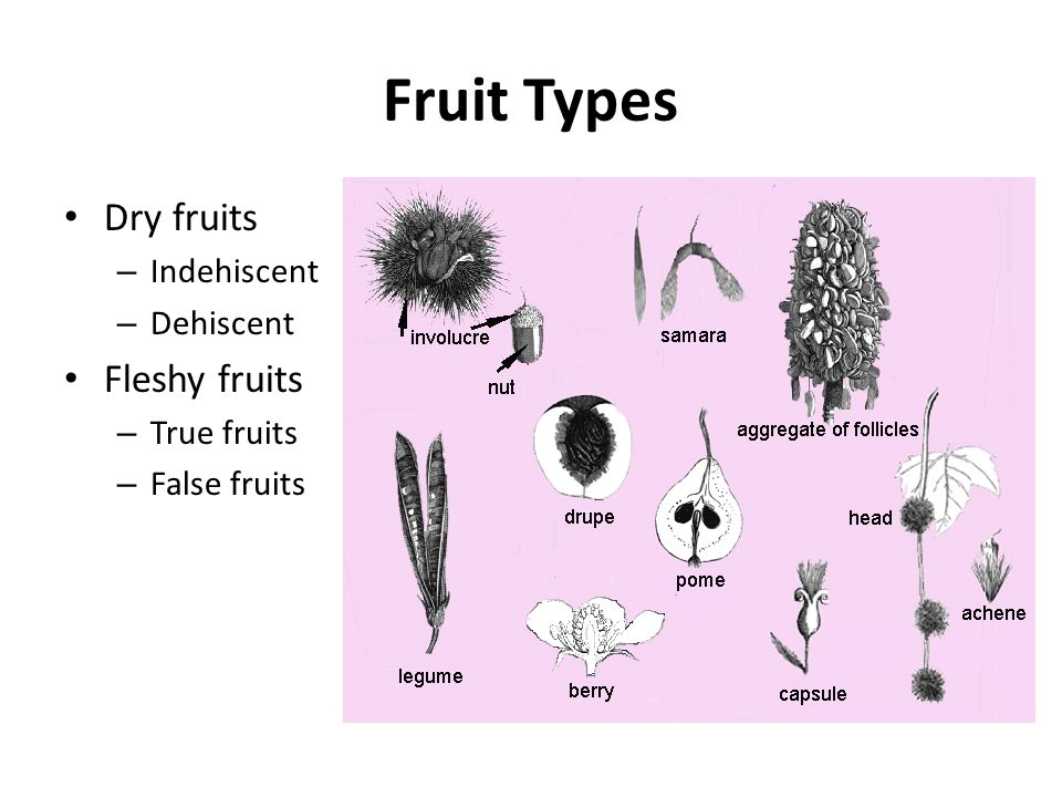 Fruit Types Dry fruits Fleshy fruits Indehiscent Dehiscent True fruits