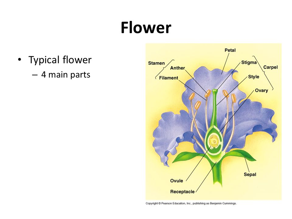 Flower Typical flower 4 main parts