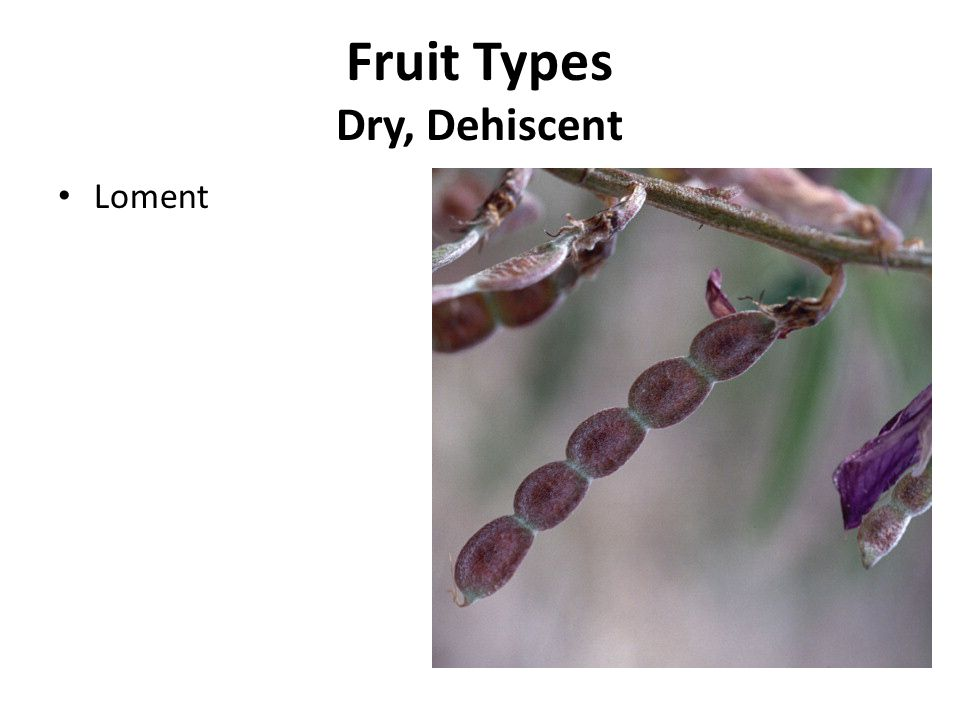 Fruit Types Dry, Dehiscent