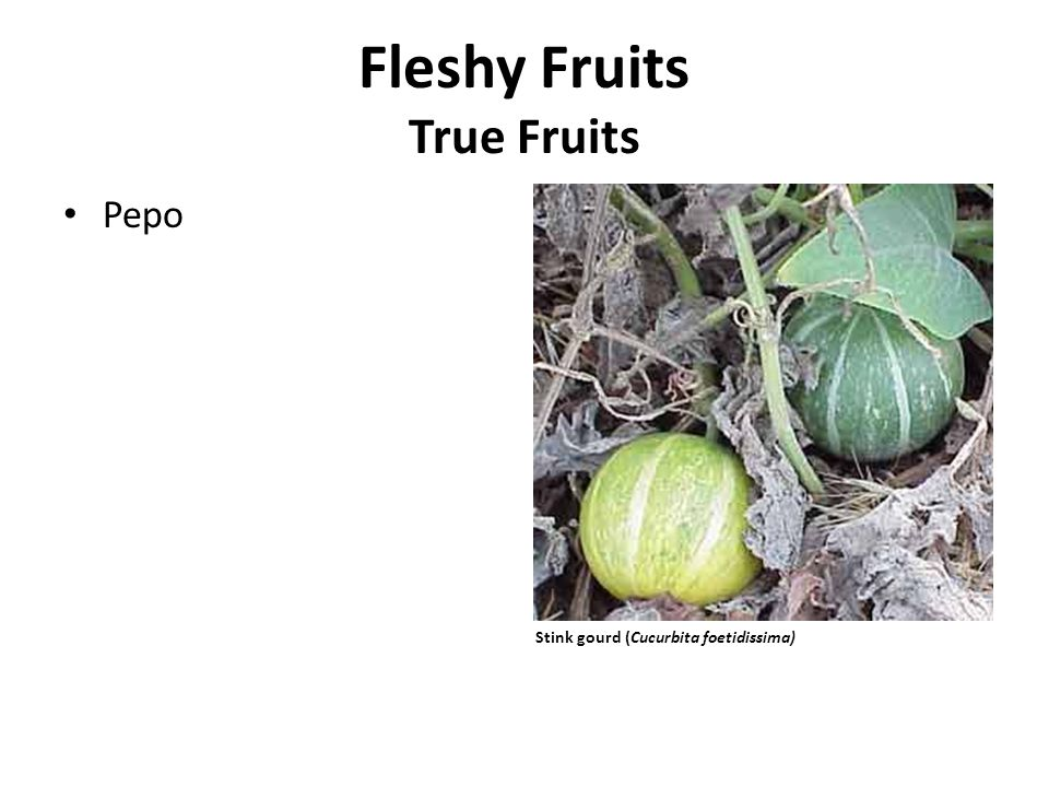 Fleshy Fruits True Fruits