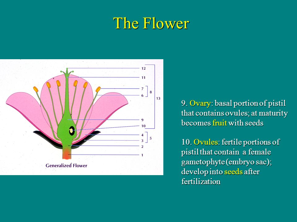 The Flower 9. Ovary: basal portion of pistil that contains ovules; at maturity becomes fruit with seeds.
