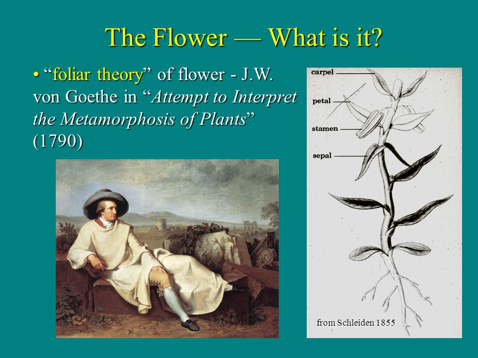 The Flower — What is it foliar theory of flower - J.W. von Goethe in Attempt to Interpret the Metamorphosis of Plants (1790)