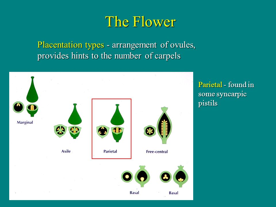The Flower Placentation types - arrangement of ovules, provides hints to the number of carpels.