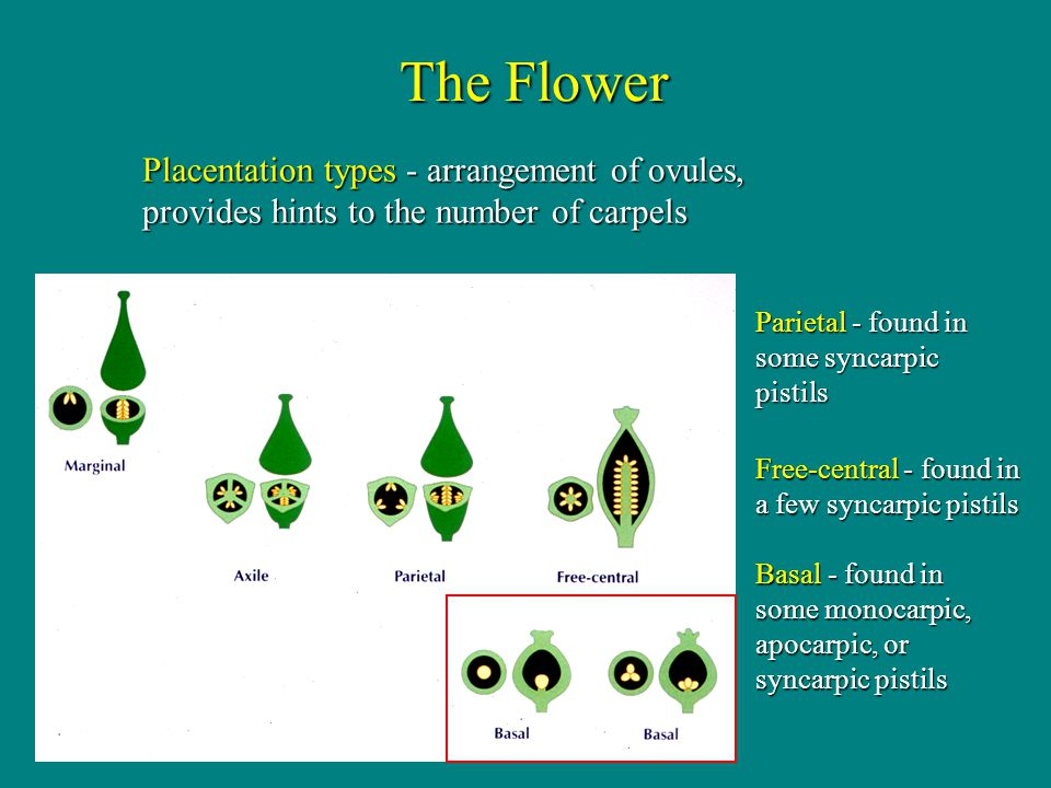 The Flower Placentation types - arrangement of ovules, provides hints to the number of carpels. Parietal - found in some syncarpic pistils.