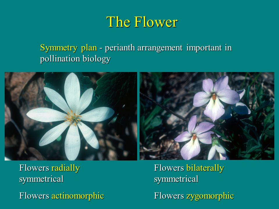 The Flower Symmetry plan - perianth arrangement important in pollination biology. Flowers bilaterally symmetrical.