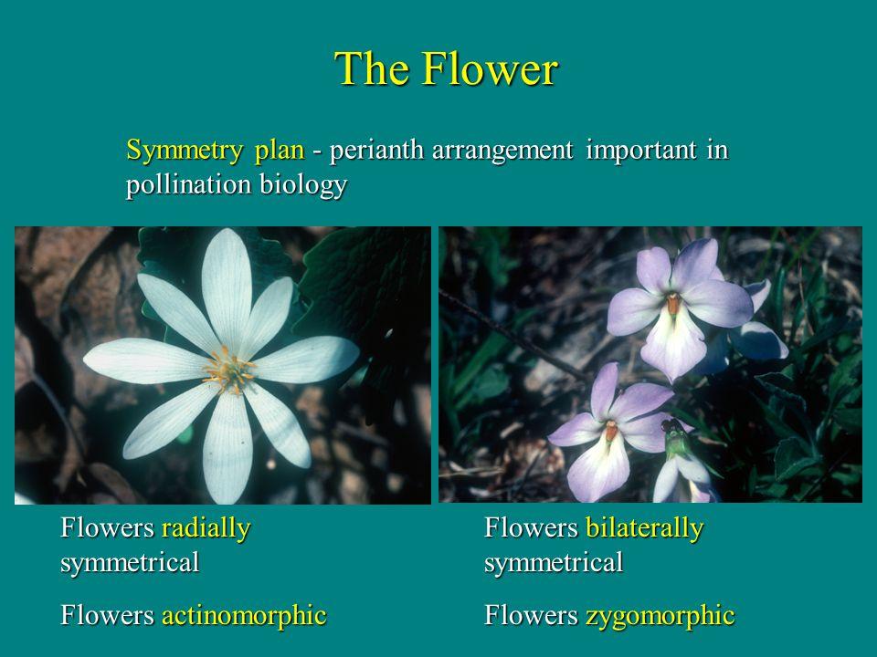 The Flower Symmetry plan - perianth arrangement important in pollination biology. Flowers bilaterally symmetrical.