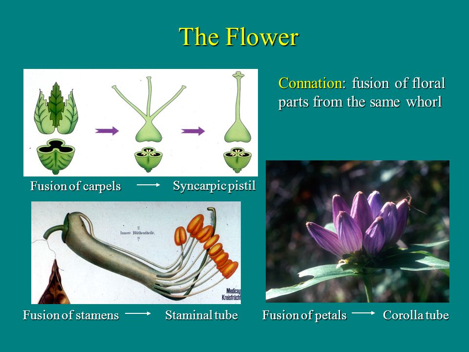 The Flower Connation: fusion of floral parts from the same whorl