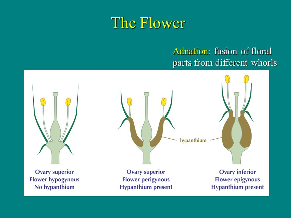 The Flower Adnation: fusion of floral parts from different whorls