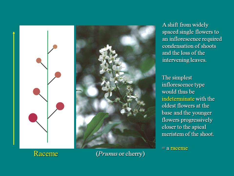 Raceme (Prunus or cherry)