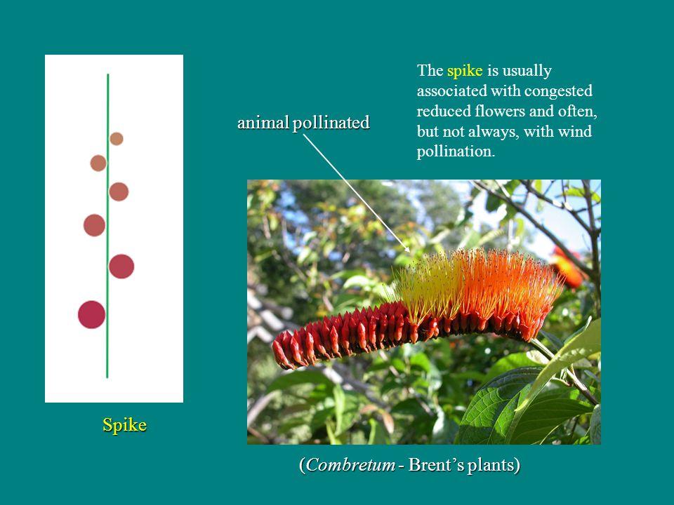 (Combretum - Brent's plants)