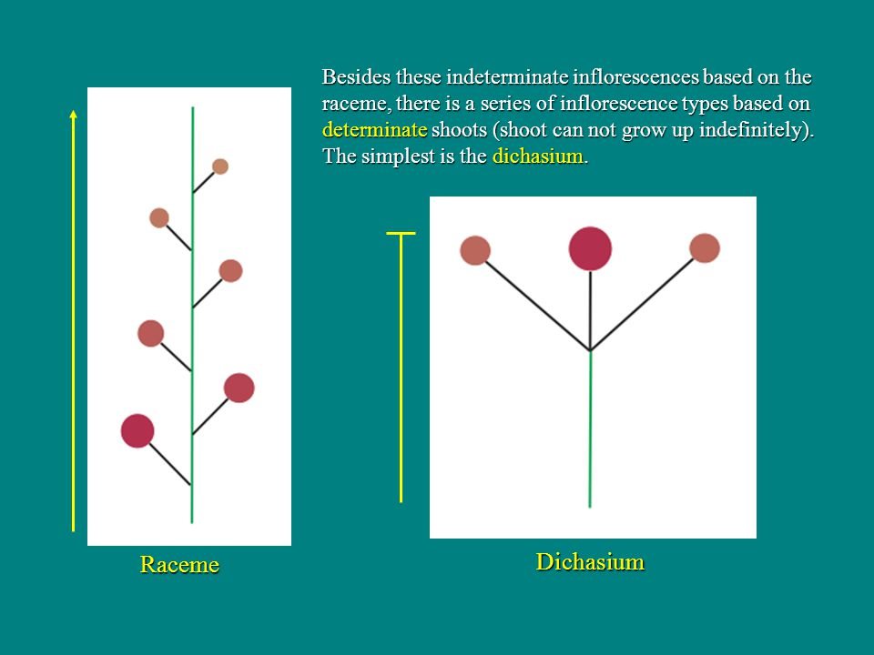 Besides these indeterminate inflorescences based on the raceme, there is a series of inflorescence types based on determinate shoots (shoot can not grow up indefinitely). The simplest is the dichasium.