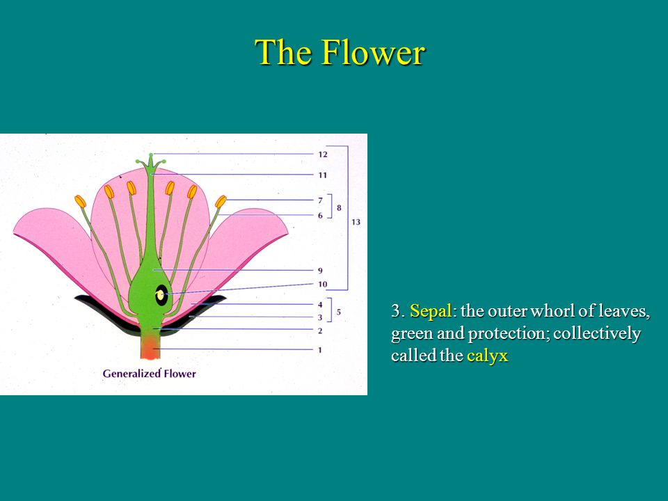 The Flower 3. Sepal: the outer whorl of leaves, green and protection; collectively called the calyx