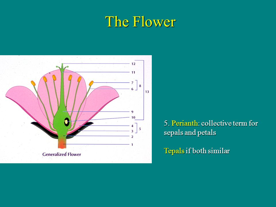 The Flower 5. Perianth: collective term for sepals and petals