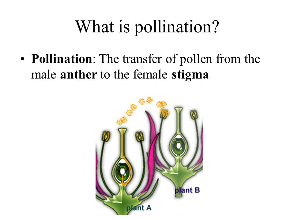 What is pollination Pollination: The transfer of pollen from the male anther to the female stigma