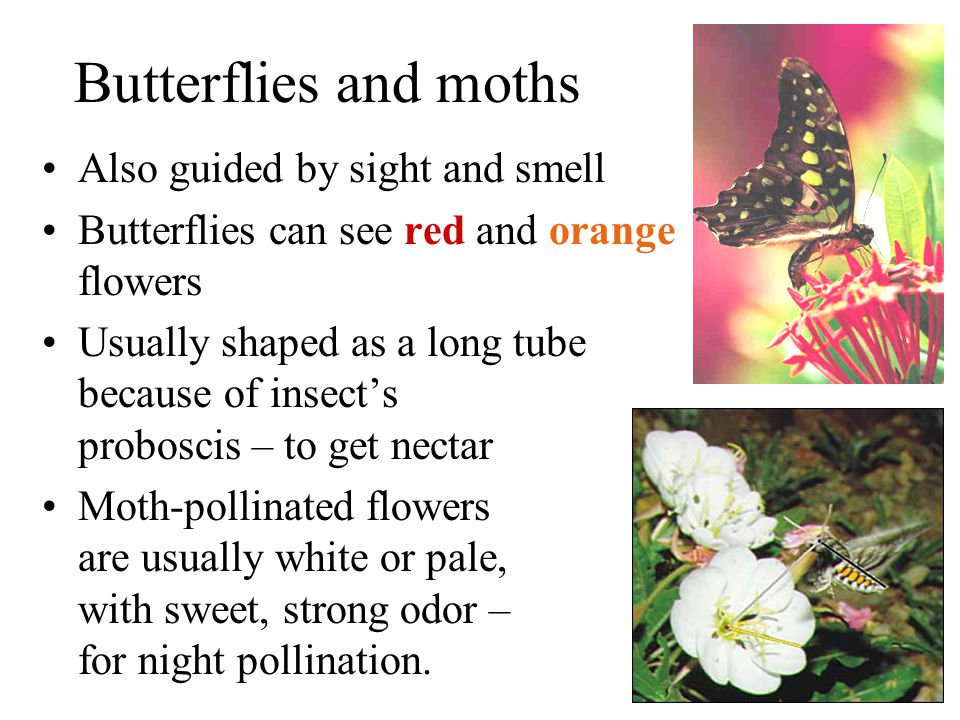 Butterflies and moths Also guided by sight and smell