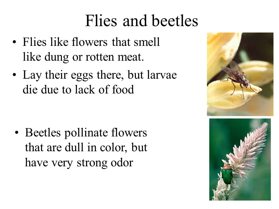 Flies and beetles Flies like flowers that smell like dung or rotten meat. Lay their eggs there, but larvae die due to lack of food.
