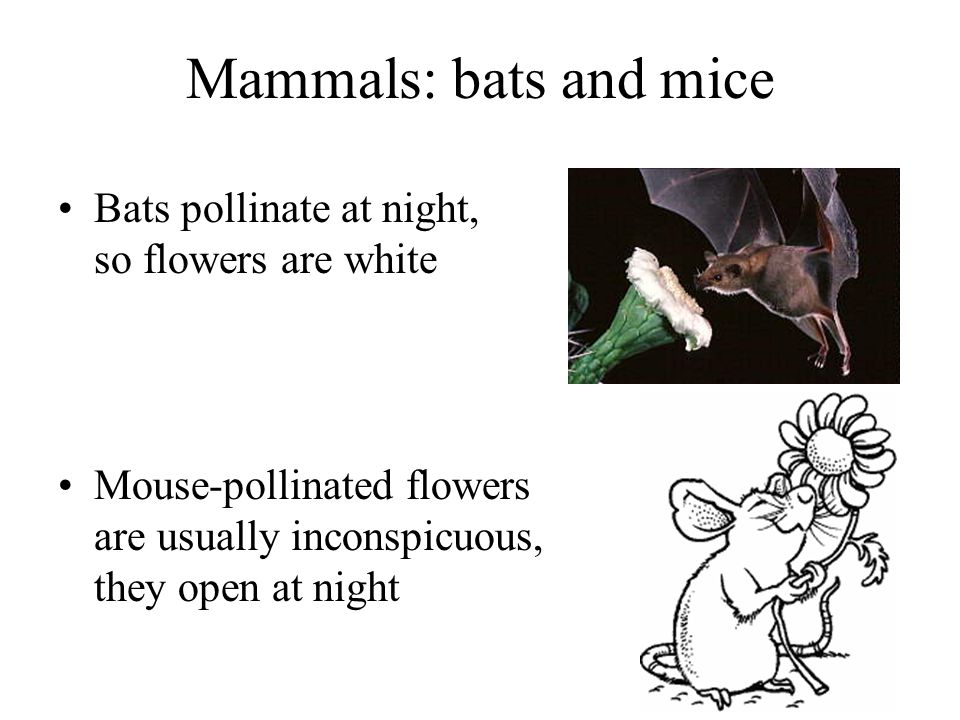 Mammals: bats and mice Bats pollinate at night, so flowers are white