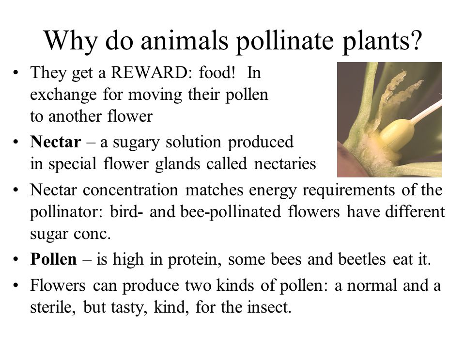 Why do animals pollinate plants