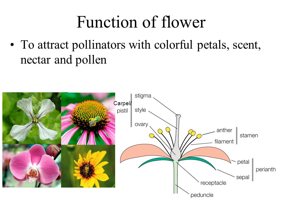 Function of flower To attract pollinators with colorful petals, scent, nectar and pollen Carpel/