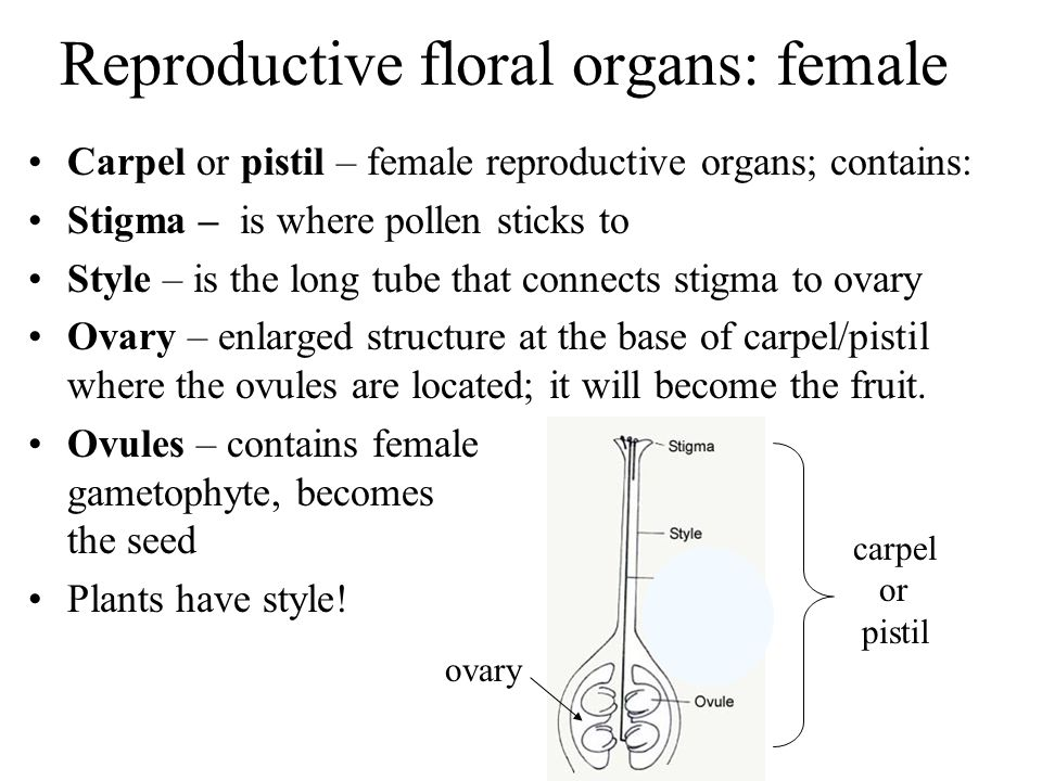 Reproductive floral organs: female
