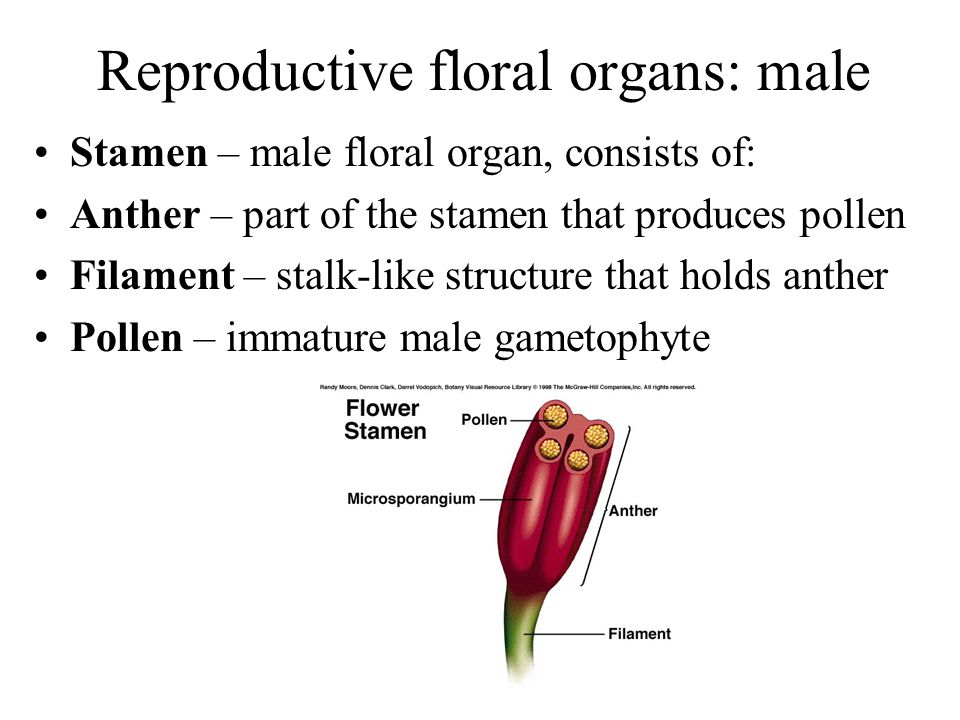 Reproductive floral organs: male