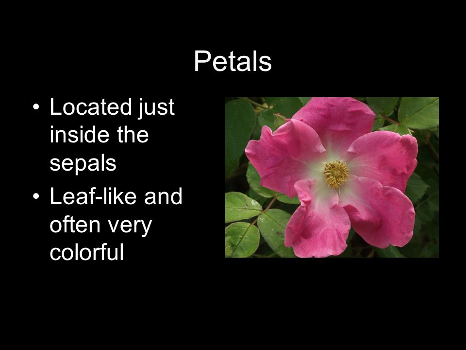 Petals Located just inside the sepals