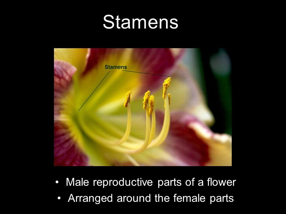 Stamens Male reproductive parts of a flower