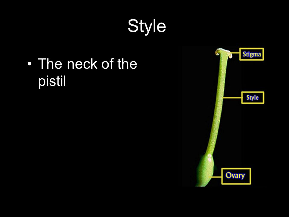 Style The neck of the pistil